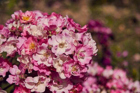 blumen, rom, blüte, blühen, frühling, rom im frühling, urlaub, reiseblog