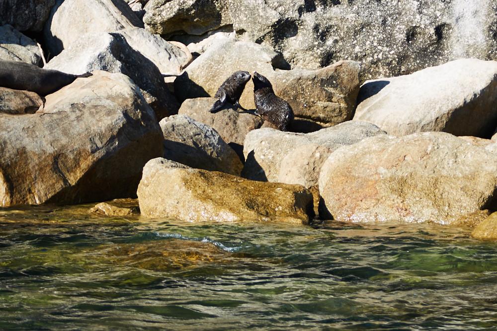 Baby Robben im Abel Tasman Nationalpark. An diesem Tag haben wir eigentlich eine Wanderung auf dem Coastal Track geplant, aber diese süßen Robben hat uns der Fahrer des Aqua Taxis noch gezeigt, bevor es weiter zur Torrent Bay ging