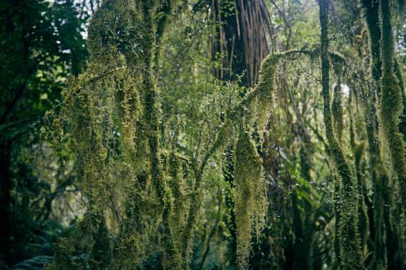 Copland Track, Urwald, Regenwald, Farn, Bäume, Waldwanderung, Wanderung, wandern