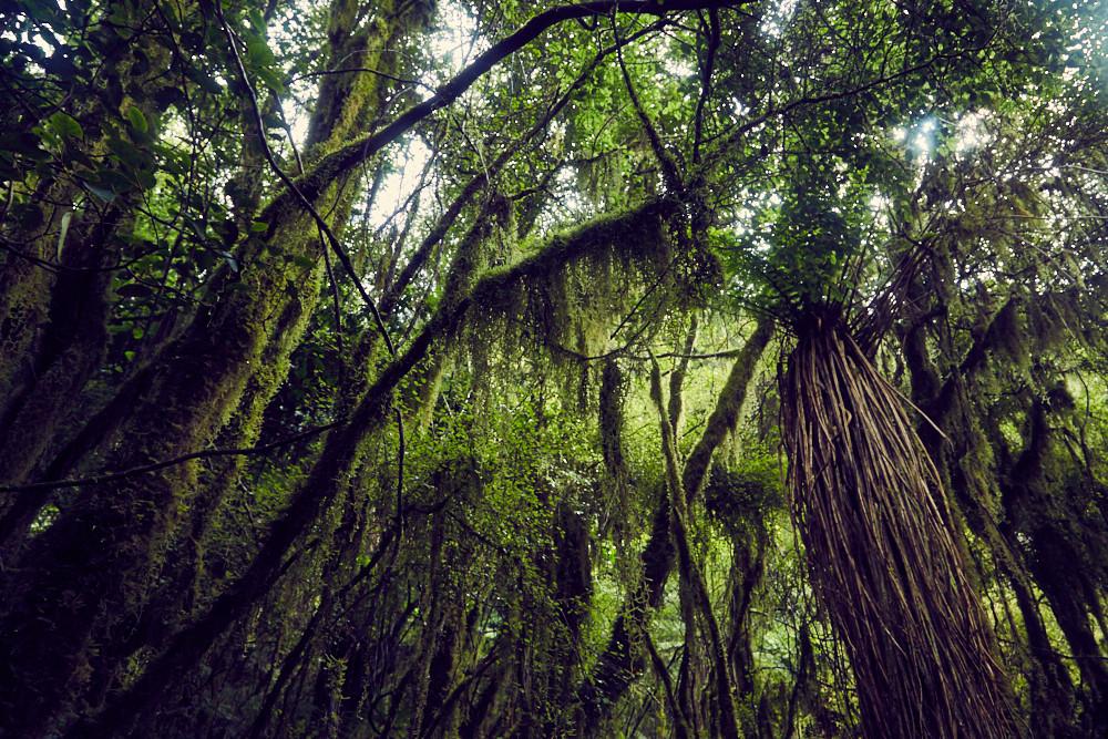 Copland Track, Urwald, Wald, Regenwald, Farne, Palmen, Moos, dicht, regnerisch, Nationalpark