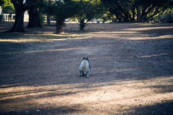 Koala, crossing, KI Western, Caravan Park, Campsite, Campingplatz, auf dem Weg, on the move, camping, Kangaroo Island