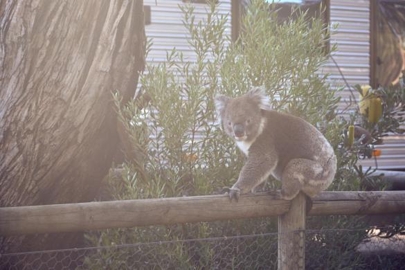 Koala, Koalabaer, Koalabär, on tour, unterwegs, wach, wechselt Baum, Miles and Shores, awake, Travelblog, Reiseblog, Reiseplanung, Koalas, Kangaroo Island