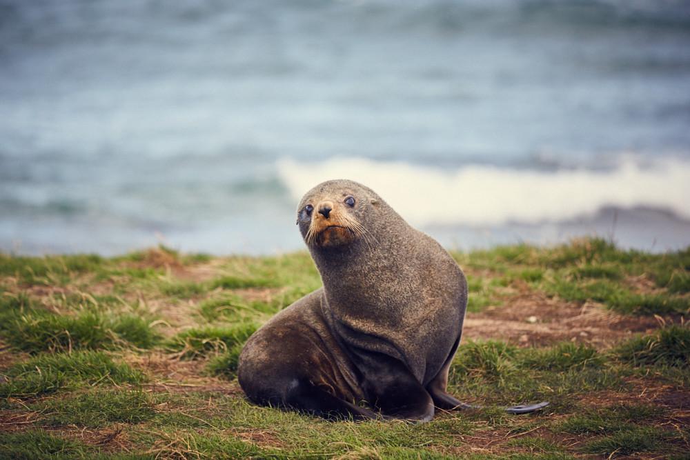 Moeraki, Katiki Point, Lighthouse, Seeloewe, Seerobbe, wach, lustig, süß, Tiere, Reiseblog, Miles and Shores