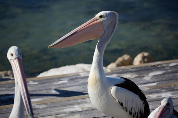 Pelikan, Pelikanfütterung, Pelikanfuetterung, Australischer Pelikan, Kangaroo Island, Fütterung, fuetterung, hautnah, spannend
