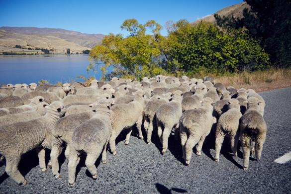 Schafe, Schafherde, Sheeps, Lake Waitaki