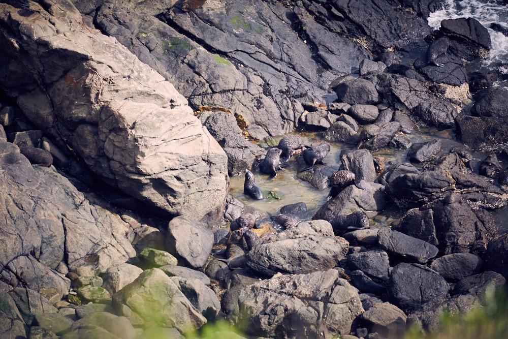 Katiki Point, Moeraki, Seelöwen, Seeloewen, Babys, Puppys, süß, natuerliche Umgebung, Seerobben