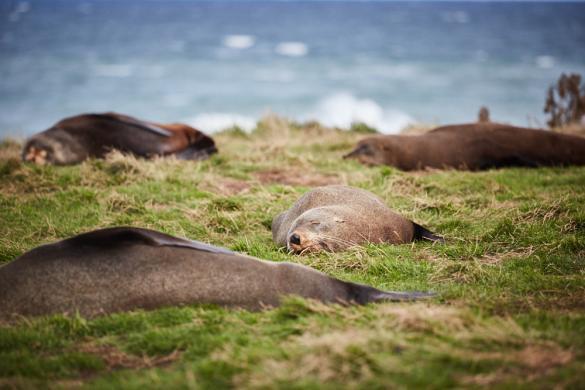 Seelöwen, Seeloewen, Seerobben, Seerobbe, Neuseeland, New Zealand, Südinsel, Moeraki, schlafen, natürliche Umgebung, sleeping, faul, Geheimtipp