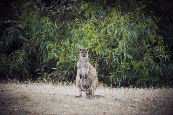 Wallaby, Kangaroo Island, funny, first one we saw, erstes, haben wir gesehen, KI Western, Caravan Park, Campsite, Tiere, Miles and Shores, Urlaub, Australien