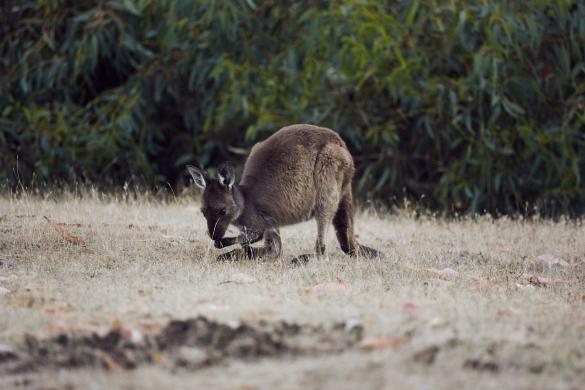 Wallaby, KI Western, Caravan Park, Campsite, Camping Platz, eating, natural habitat, natürliche Umgebung, Kangaroo Island, natural, nature, Natur, beobachten, Miles and Shores, Reiseblog, Travelblog