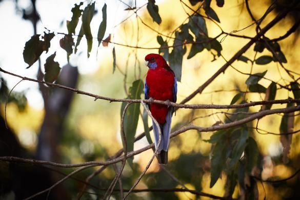 roter, Papagei, Kangaroo Island, KI Western, Caravan Park, Vogel, süß, suess, viele, Tiere, Campingplatz, Australien, Urlaub, Reise, Must See