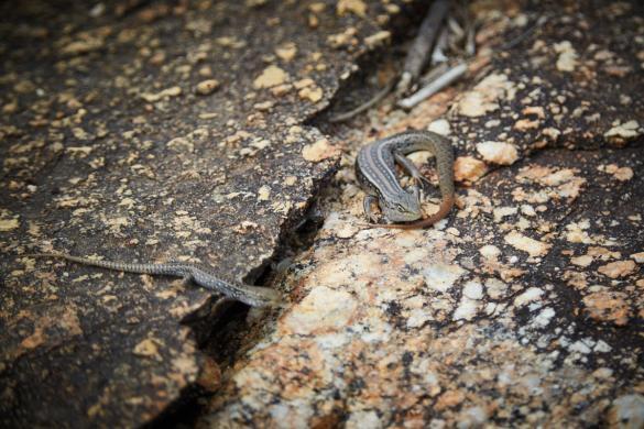 Eidechsen, Eidechse, Wilsons Promontory National Park, Nationalpark, Stein, sonnen, Tiere, Animals, in Australia, in Australien