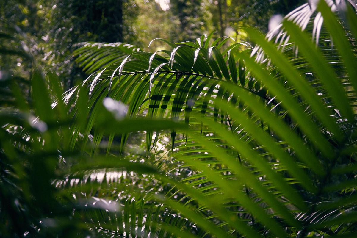 Farn, Farne, Dorrigo National Park, Australia, Australien, Womba Walk, Pflanzen, Regenwald, Urwald