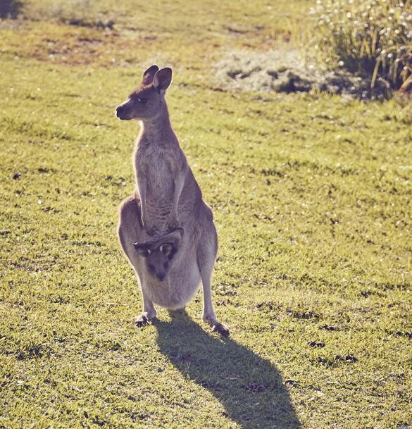 Kangaroo, Joey, baby, with, Wallaby, Australien, Australia, Road Trip, süß, gesichtet, wild, freie Natur, natürlich, sehen, beobachten