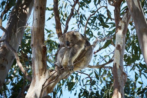 Kaola, Raymond Island, bear, awake, wach, süß, pummelig, Eukalyptusbaum, Koala Trail, Miles and Shores, Reiseblog, Blog