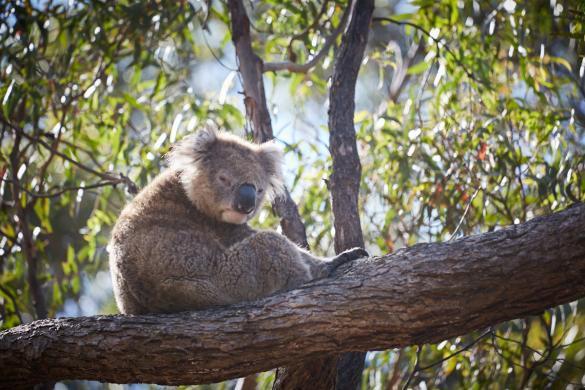 Koala, bear, old, alt, grumpy, grummelig, müde, muede, schlaefrig, Eukalyptusbaum, Raymond Island, Koala Trail