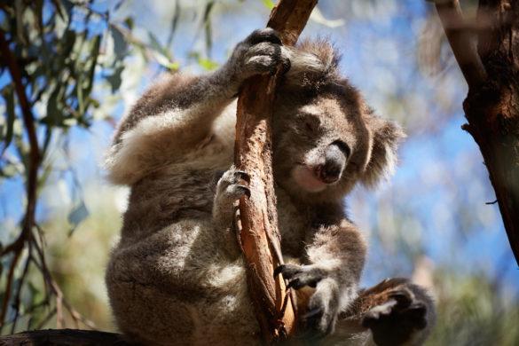 Koala, schläft, schlaeft, seelig, süß, suess, Eukalyptusbaum, Koala Trail, Miles and Shores, Reiseblog, Blog, Raymond Island
