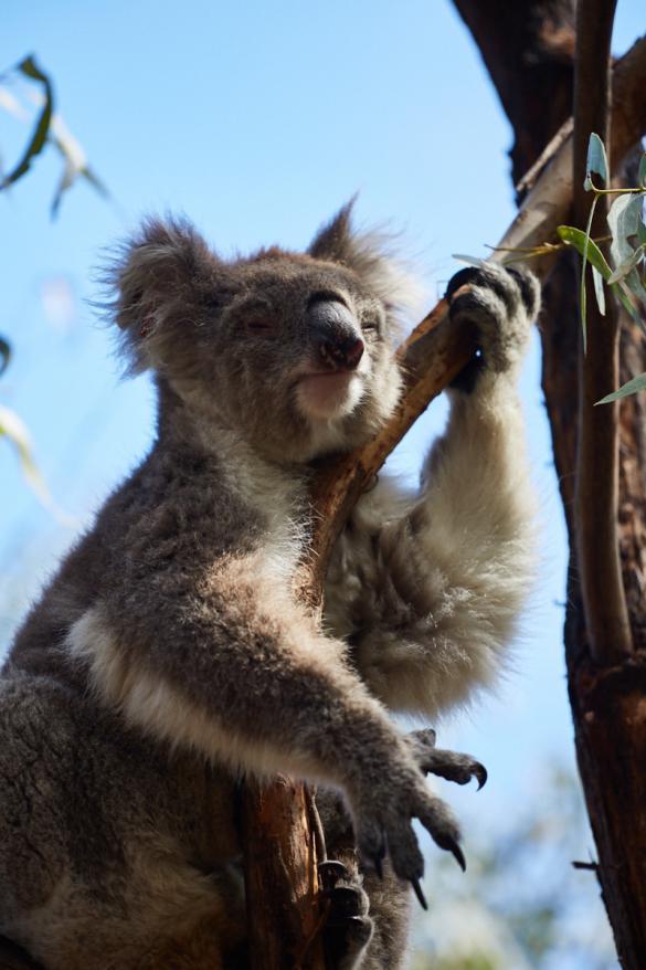 Koala, sleepy, Eukalyptusbaum, Koala Trail, Miles and Shores, Reiseblog, Blog, Raymond Island, streckt sich, kühlen, kuehlen, kuschelt, kuscheln