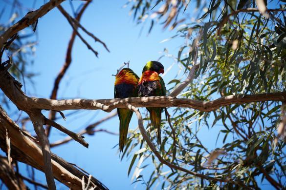 Papageien, Papagei, Raymond Island, Pärchen, bunt, witzig, frech, Vogelwelt, Australien, Ostküste, Roadtrip