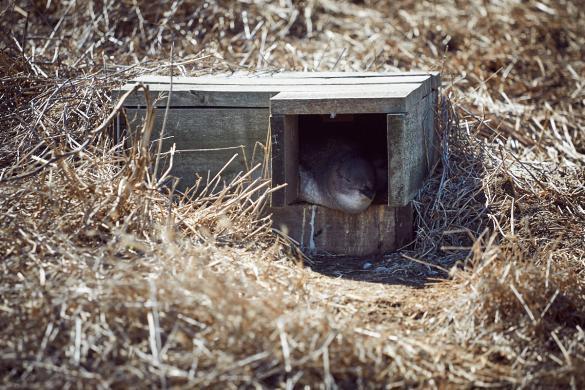 Phillip Island, Victoria, Pinguin, Brutkasten, Brutkästen, Nest, Australien