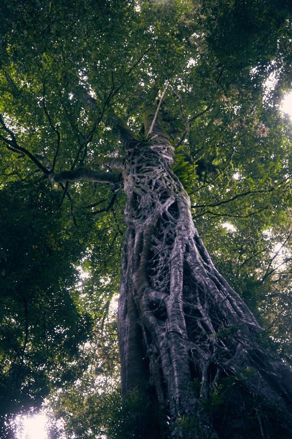 Baum, Stamm, Wurzeln, Regenwaldbaum, Tagesausflug, Dorrigo National Park, Australia, Australien, Nationalpark, Miles and Shores, einzigartig, Wanderung
