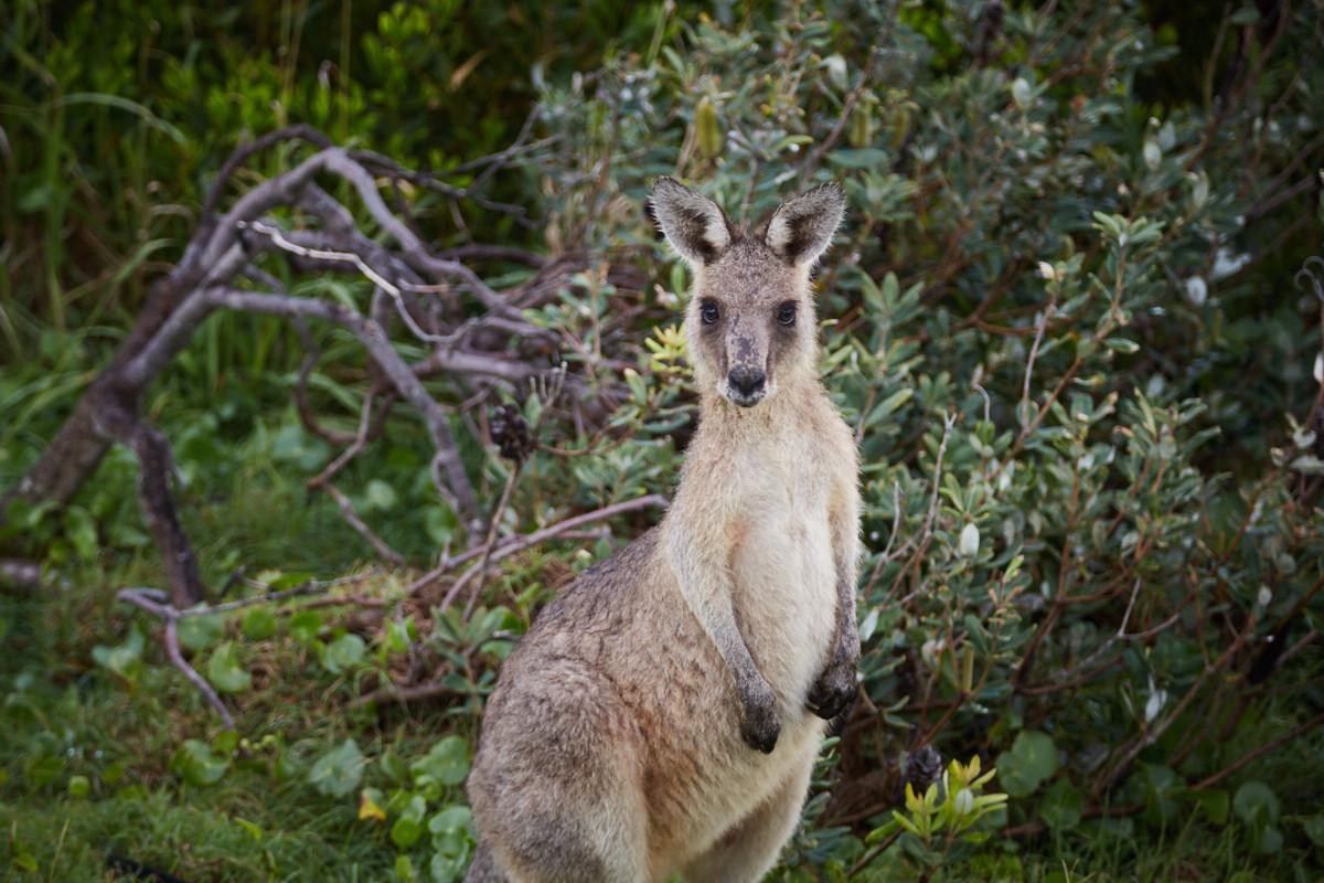 Wallaby, Hat Head, Nationalpark, süß, gesichtet, gesehen