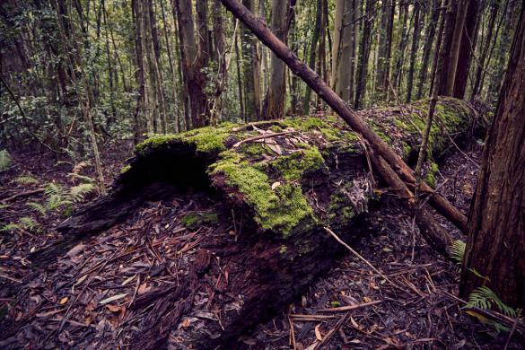 grosser, Baum, Baumstumpf, Regenwald, Urwald, Urwaldwanderung, Wanderung, wandern, Regenwald, Barrington Tops, National Park, Nationalpark