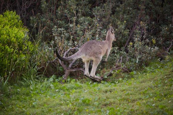 Känguru, Kangaroo, Hat Head, Nationalpark, Wallaby, hüpfen, jumps, freie Natur, freie Wildbahn, sichten