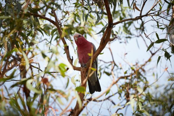 rosa, Papagei, parrot, Raymond Island, Australien, Roadtrip, Miles and Shores, Tierwelt, in, Australia