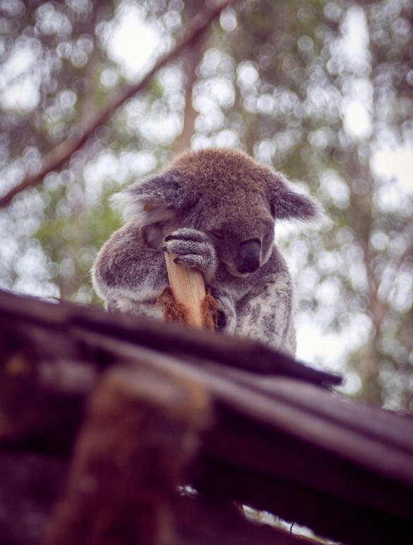 Koala, schlafend, süß, entzückend, friedlich, Port Macquarie, Koala Hospital, krank