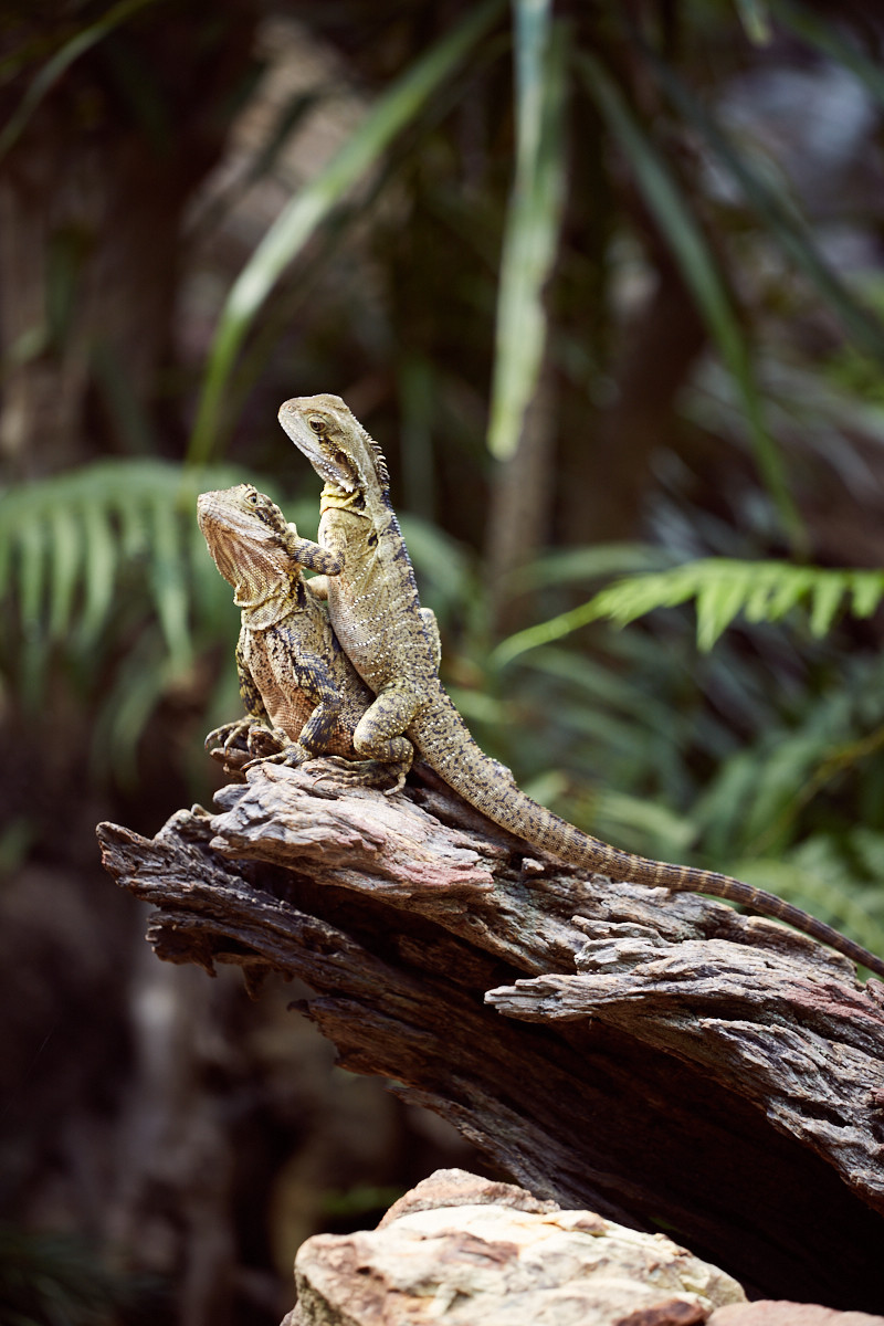 Eidechsen, Australia Zoo, Queensland, sonnen, sonnig, tiere, animals, australien, australia, things to do,