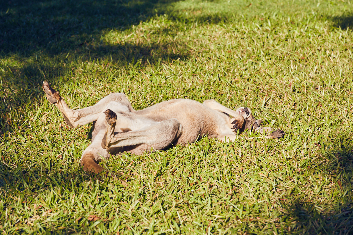 sleeping, kangaroo, känguru, wallaby, Australia Zoo, australien Zoo, Queensland, sleeping, schlafend