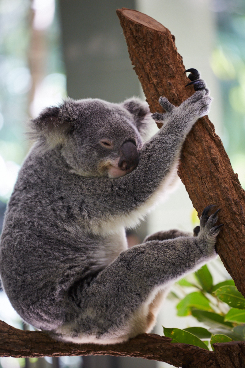 happy, Koalabär, koala, smiling, chilling, holding,