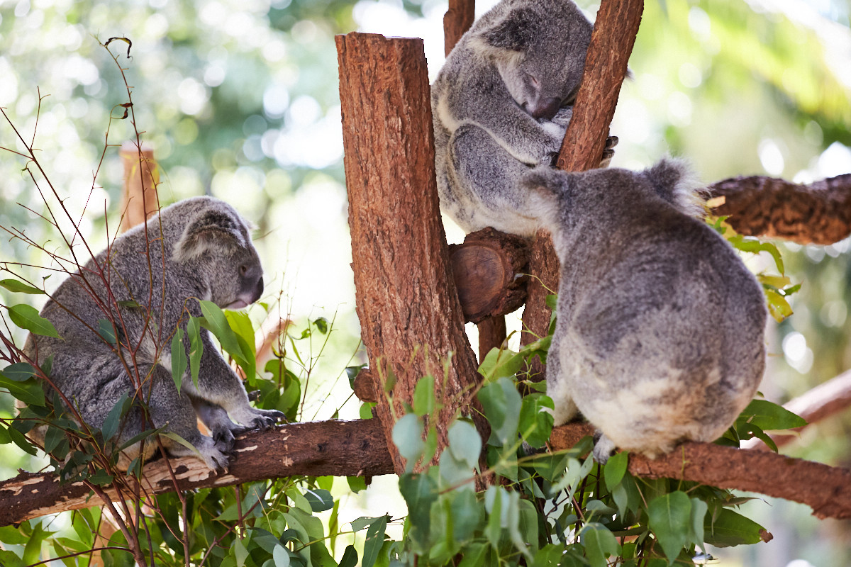 Koalas, Koalabären, Australia Zoo, Koalas, lots of, where to see, what to do, things to do in, Queensland, Australia, Steve Irwin