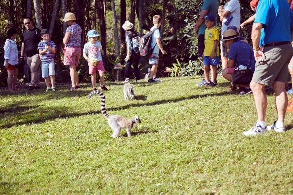 Lemur, Lemuren, island, Australia Zoo, Queensland, free, sunny day