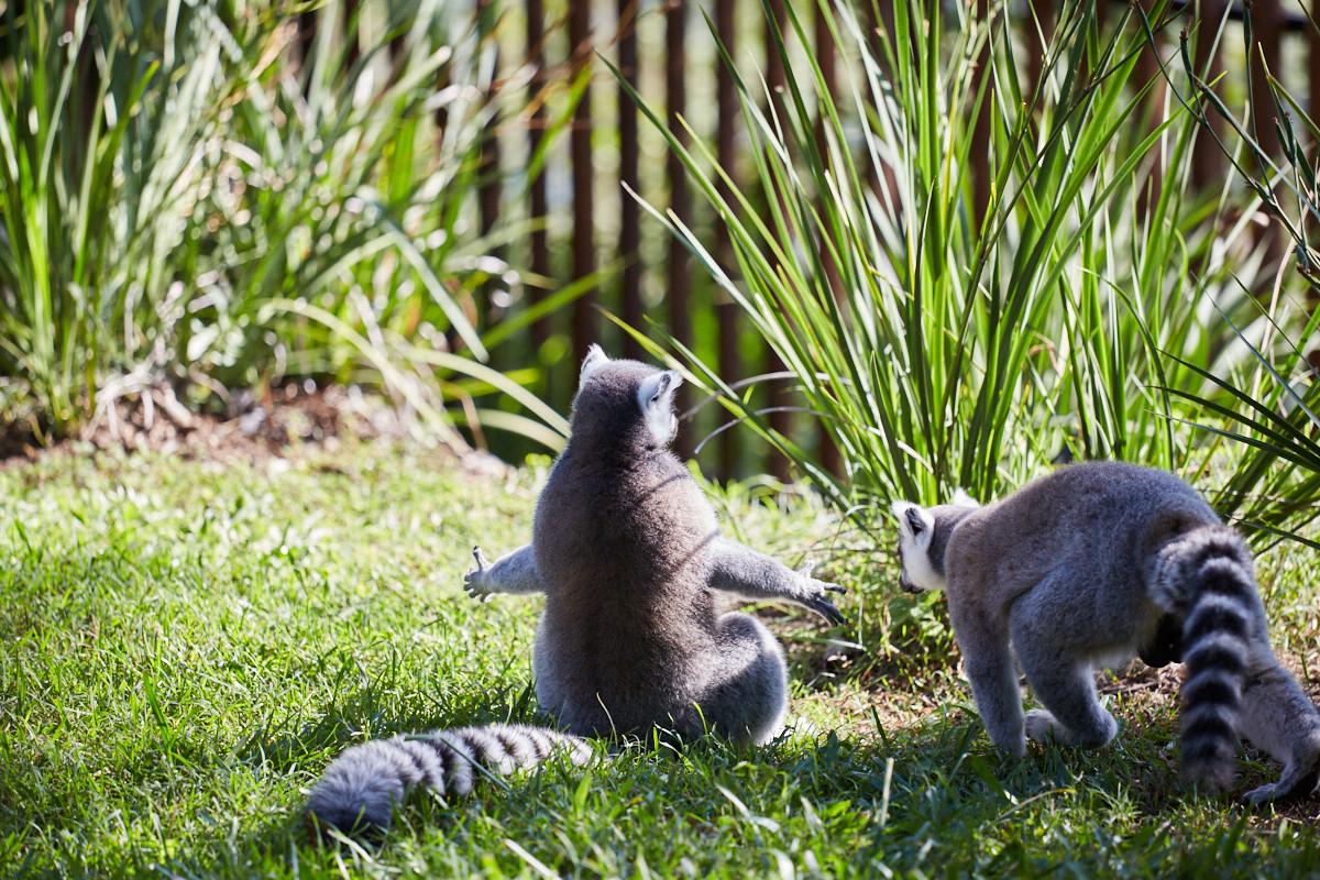 Lemuren, sonnen, sonnig, Lemur, entspannen, arme ausstrecken, sunny, sunny day, broad arms