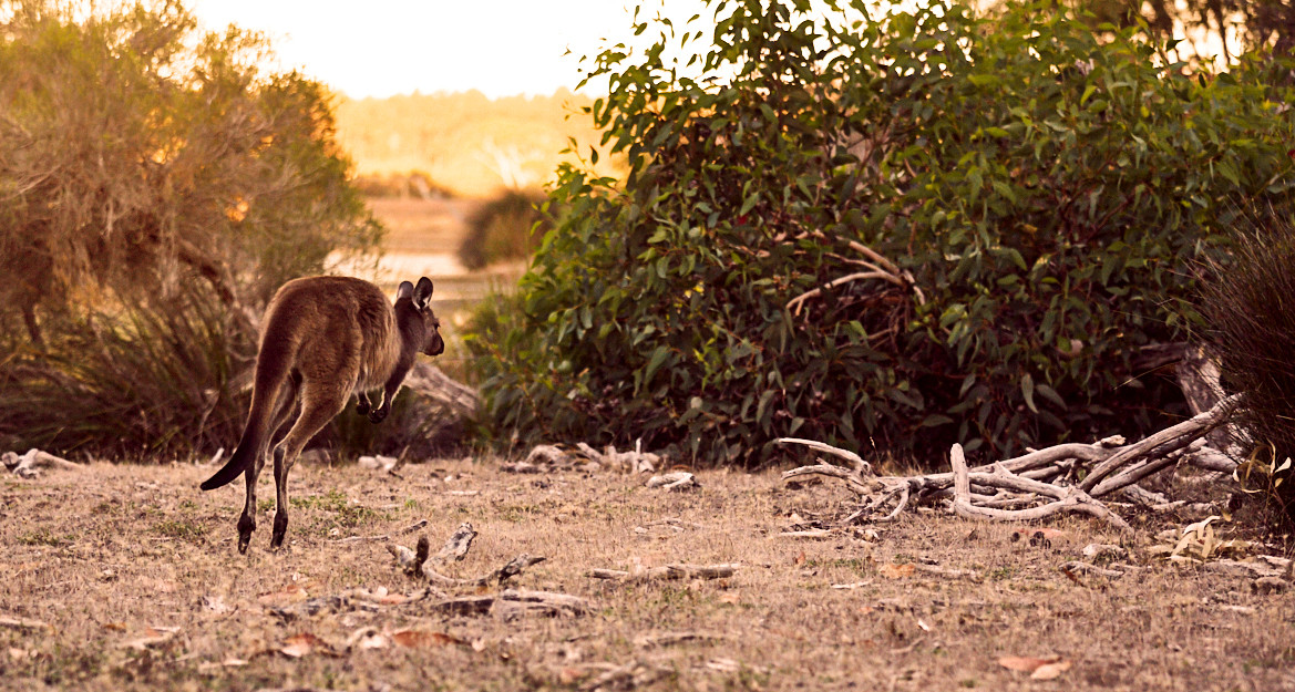 Wallaby, Kangaroo Island, Sonnenuntergang, Australien, Kangaroo, Känguru, Tiere in Australien, Australien Roadtrip, Roadtrip, Reise, Rundreise, Australien Urlaub, Route für den Australien Roadtrip