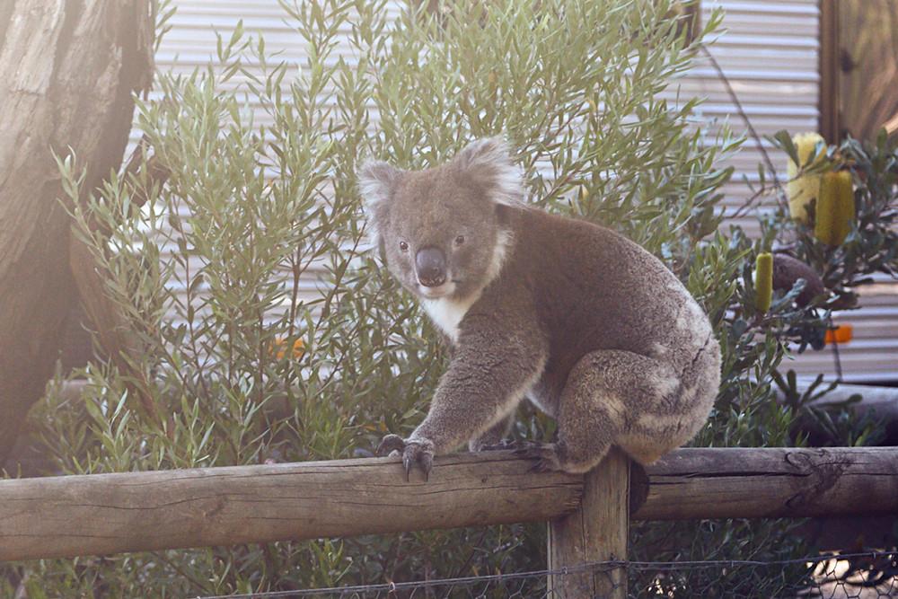 koala auf campingplätze in australien, campingplatz australien, campsite australia, campsite, koala, kangaroo island