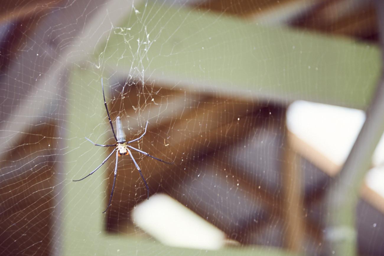 Spinnenphobie nach Australien, arachnophobia to Australia, travel, travelblog, reiseblog, Erfahrung, Erfahrungsbericht, Miles and Shores, Daintree Rainforest, Orb Spider, Netzspinne, harmless, ungefährlich