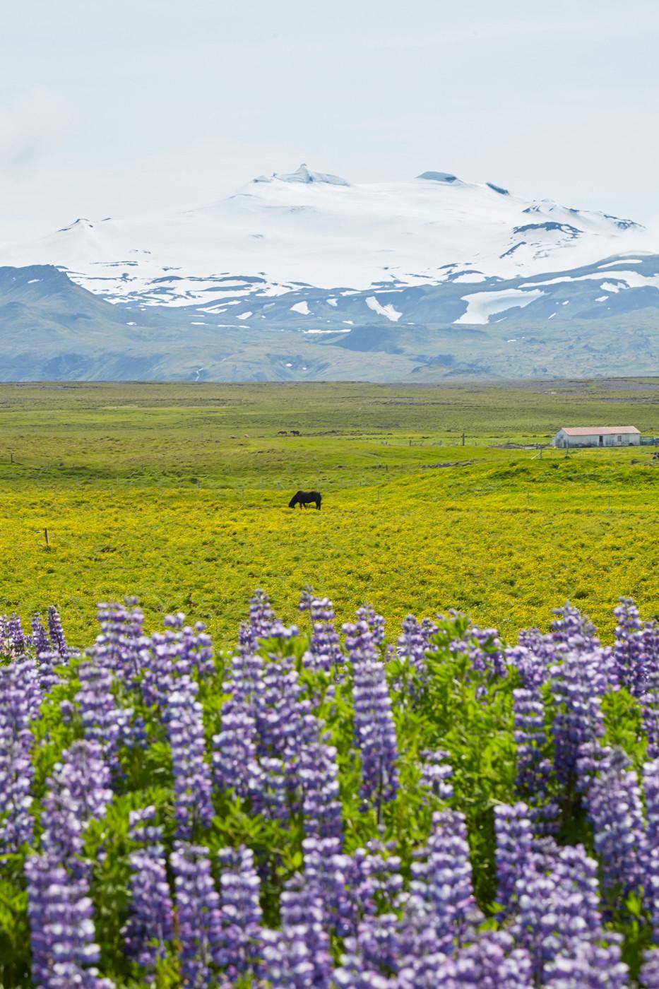 island, iceland, Landschaft, landscape, Pferd, horse, Lupinien, Lupins, Blumen, flowers, snow, Schnee, Rundreise, Roadtrip
