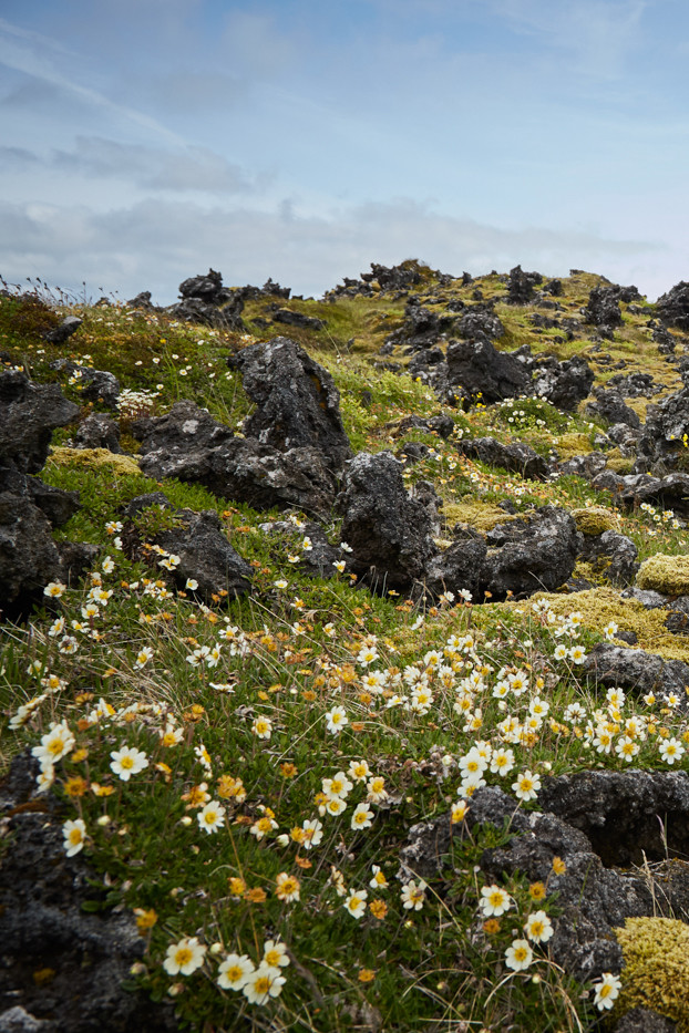 Snaeffelsness Drohnenbild, Drone shot, droneshot, Drohnenpilot, Lavafeld, Snaeffelsnes, Island, Iceland, Roadtrip, Rundreise, Reiseblogger, Travelblogger, Miles and Shores, hochformat, high format, flowers, yellow, fauna
