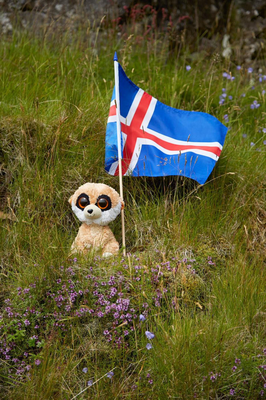 ed das erdmännchen, ed, reisemaskottchen, meerkat, iceland, flag, flagge, island, reiseblog, miles and shores