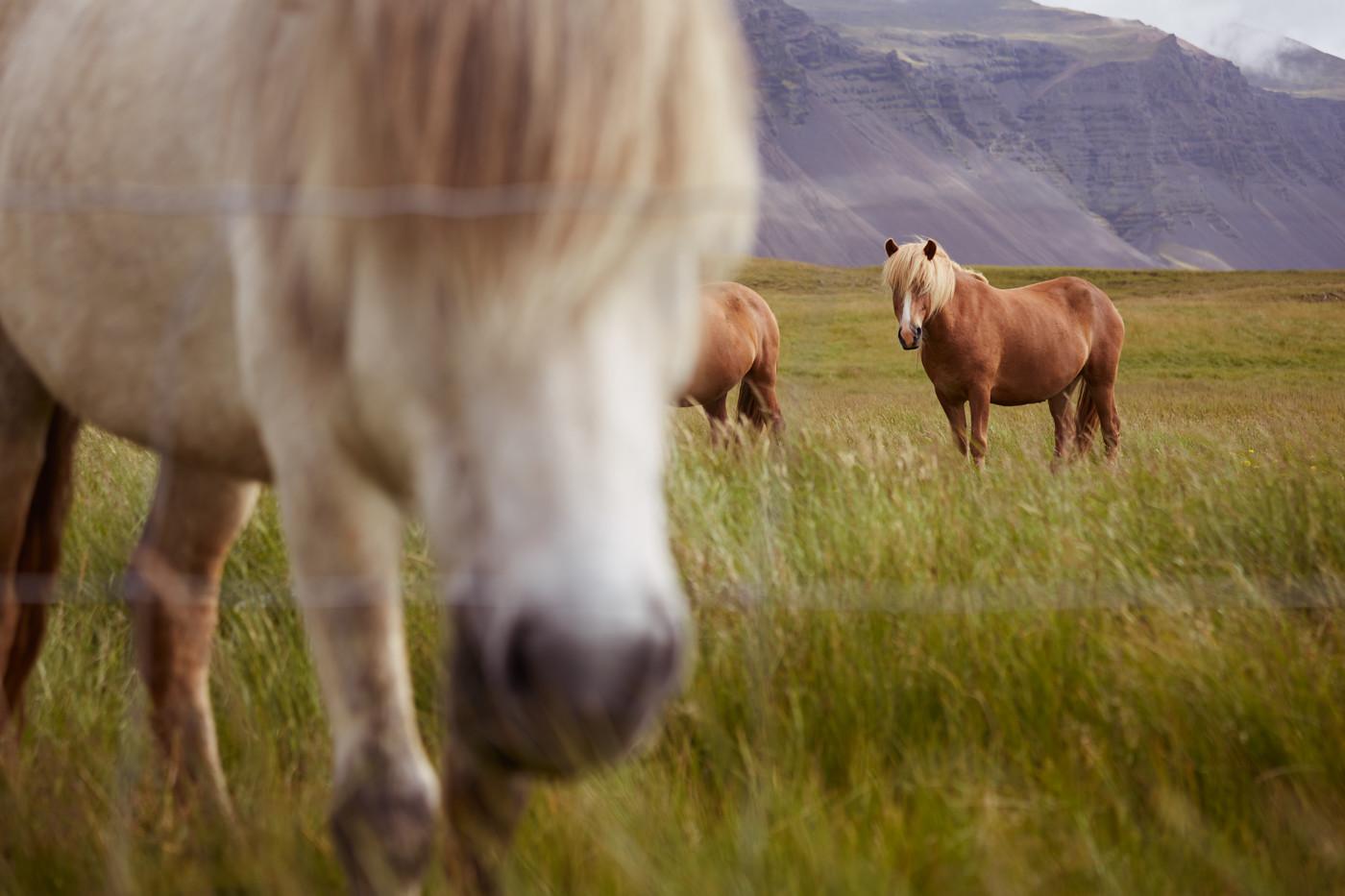 Islandpferde, Weide, Iceland, Island, Reiseblog, Travelblogger, Where to see icelandic ponys, wo sieht man Islandpferde
