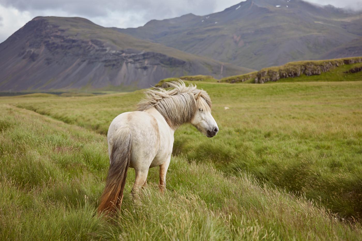 Islandpferd, weißes pferd, weiß, white, icelandic horse, iceland pony, islandpony, weide, wild, free, beautiful, wunderschön