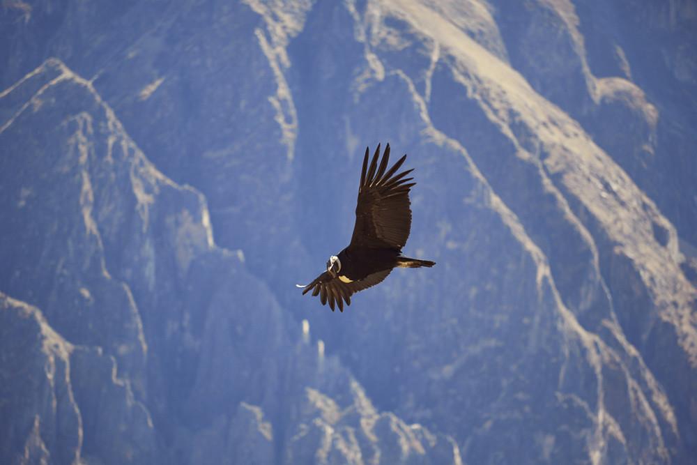 Kondor im Flug, gesehen beim Mirador Cruz del Condor