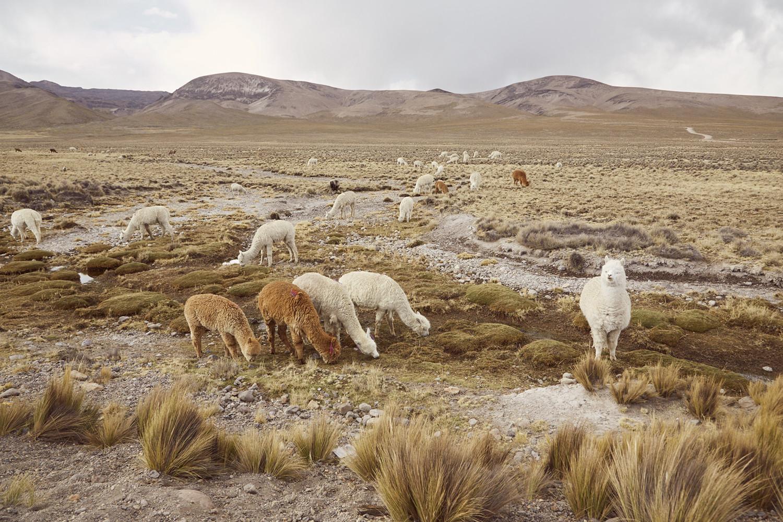 Roadtrip Peru, Route nach Peru, Fahrt von Arequipa nach Chivay, Alpacas grasend im Nationalpark Salinas y Aguada Blancas