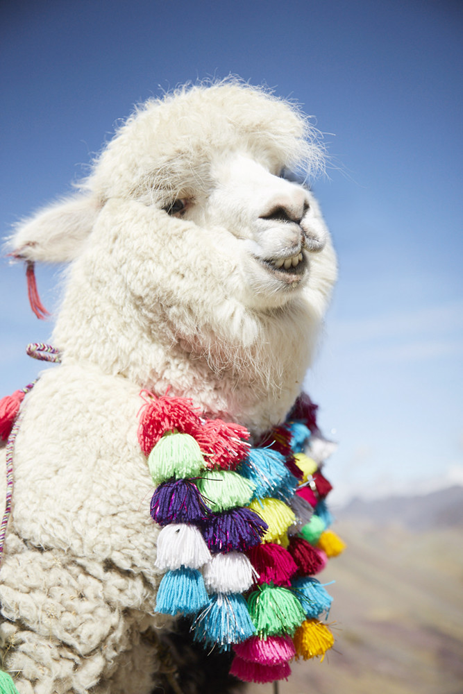 Lachendes Alpaca. Ist immer süß!