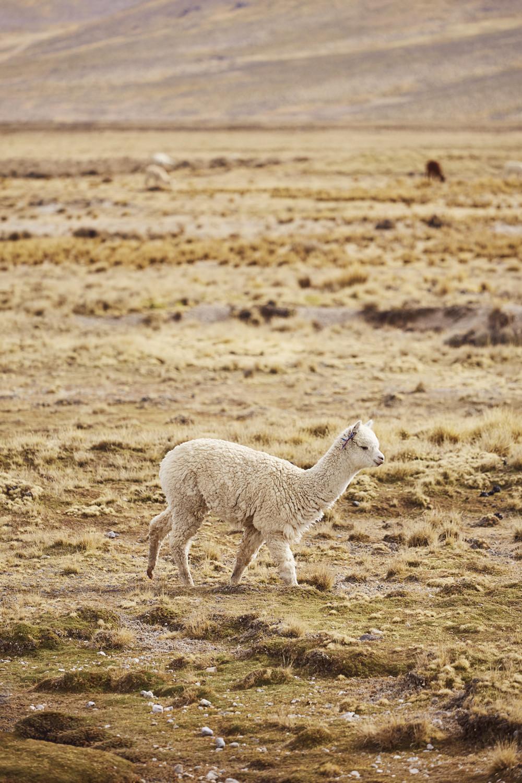 Alpaca in Peru, weißes Alpaca läuft durch die Landschaft, gesehen während unseres Peru Urlaubes