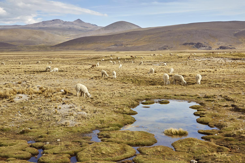 Alpacas am Straßenrand im Reserva Nacional de Salinas y Aguada Blanca. Dies ist die Strecke von Arequipa nach Chivay, hier gibt es wunderschöne Landschaften, deshalb wollten wir auch selbst mit dem Auto fahren und haben einen Peru Roadtrip gemacht