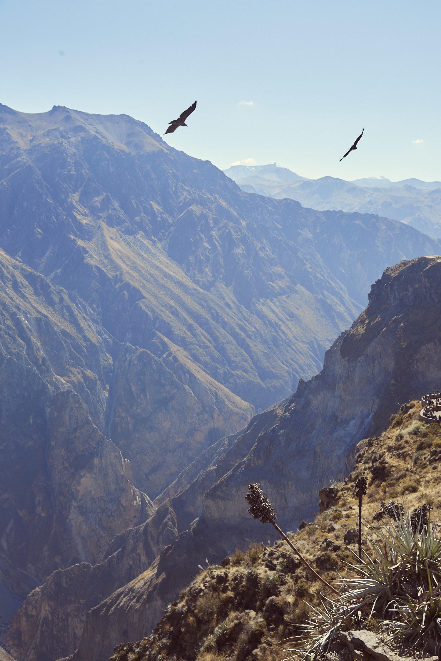 Andenkondore, Kondore in Peru beim Mirador Cruz del Condor beim Colca Canyon in Peru