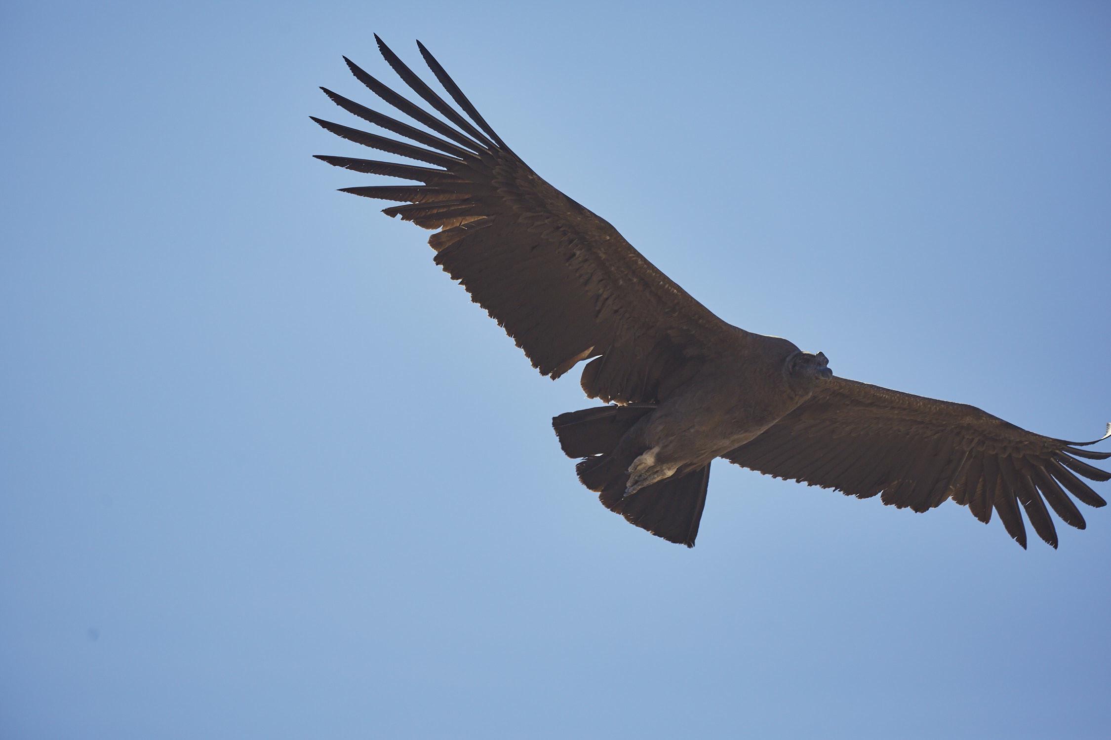 Der Anden Kondor im Flug